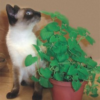Semente de Erva dos Gatos
