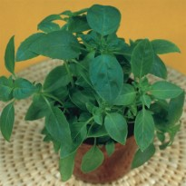 Semente de Manjericão Alfavaca Verde Feltrin Sementes