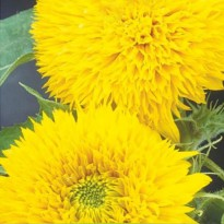 Semente de Girassol Dobrado Anão Sungold Amarelo Feltrin Sementes