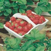 Semente de Morango Vermelho Ruge Feltrin Sementes