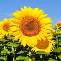 Semente de Girassol Amarelo Feltrin Sementes Feltrin Sementes